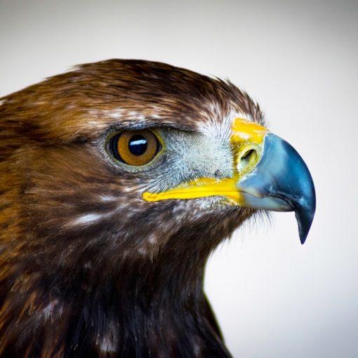Plumes naturelles, plumes d'aigles, plumes d'oiseaux exotiques, plumes de perroquets, espèces protégées